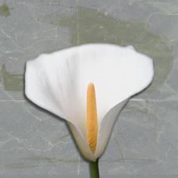 Lillies3