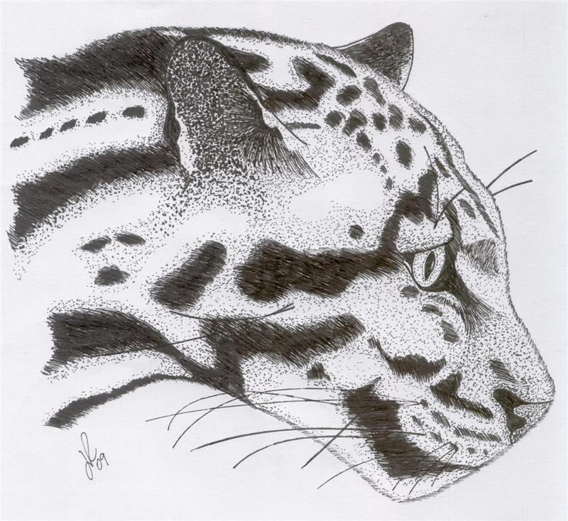 Clouded Leopard Drawings Clouded Leopar