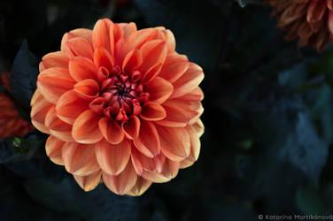 Flower in our garden by gcharlotka