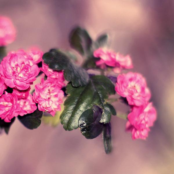 soft pink by sternenfern