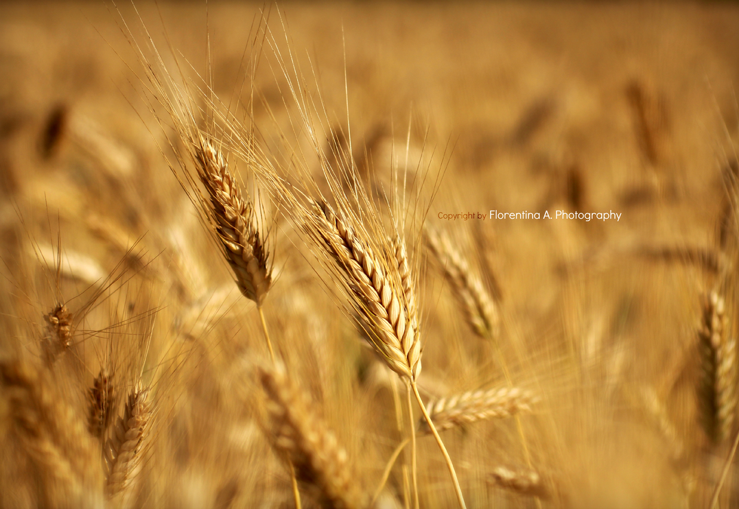 Wheat .. whatever by Tiina23