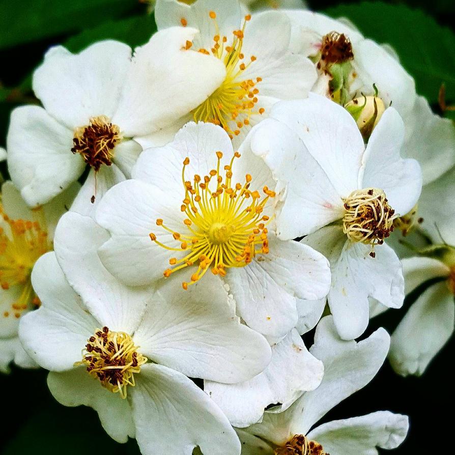 briar flowers  by mr-jinxs