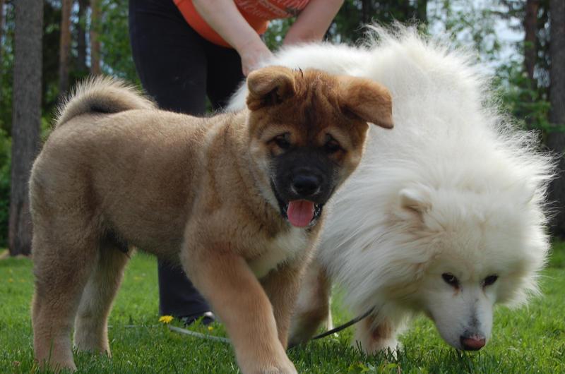 American akita puppy by caerlos