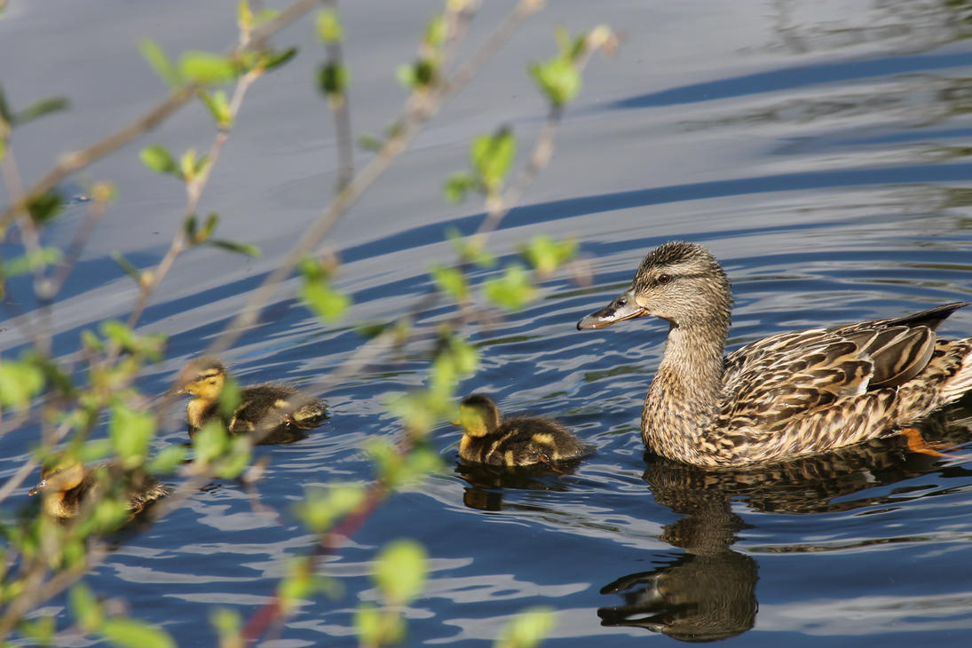 Little Mallard Family by ridiculyss
