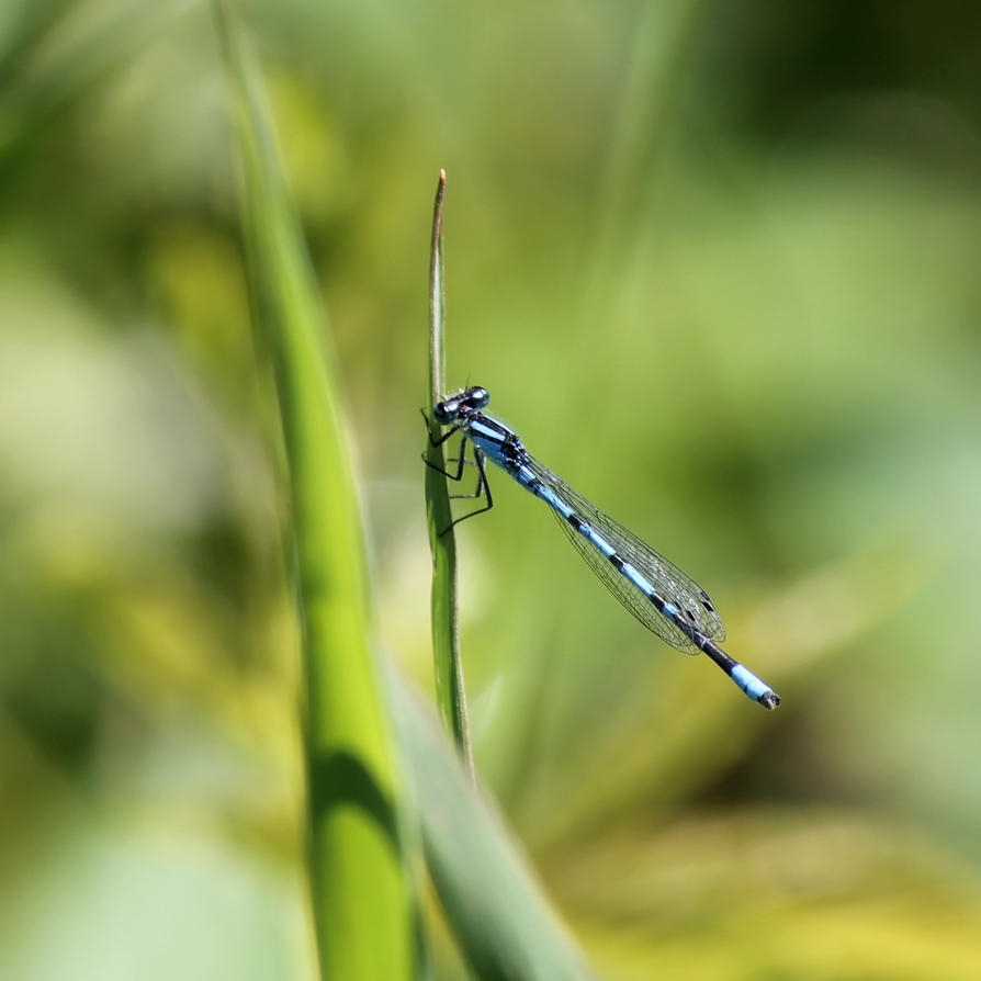 Dragonfly by ridiculyss