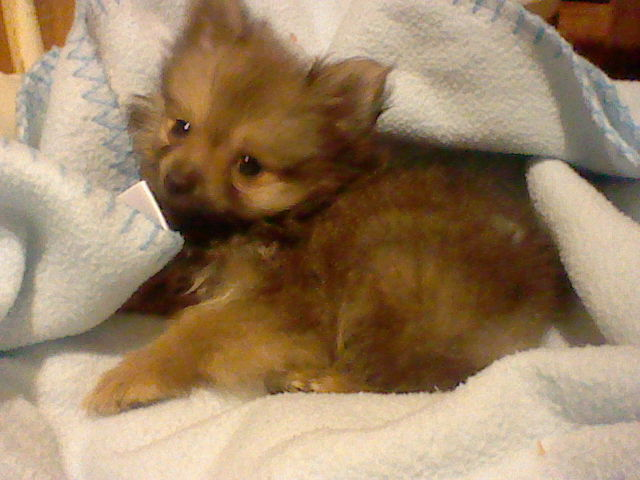 Brown Teacup Pomeranian Tiny the teacup pomeranian byTeacup Pomeranian Brown