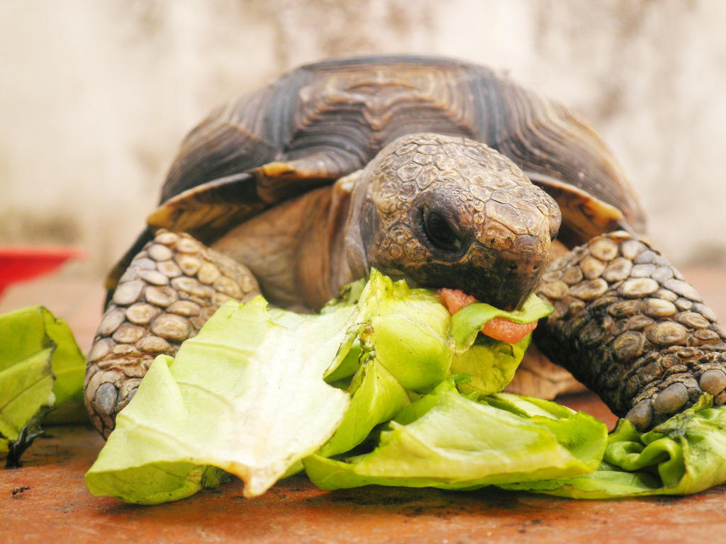 Turtle Eating Turtle eating by ladypand0ra
