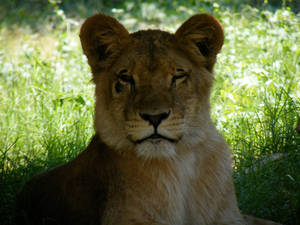 Lion in the Egyptian Giza Zoo