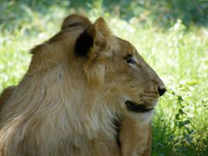Lion in Egyptian Giza Zoo