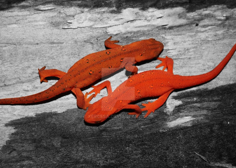 Newts by Xercesa