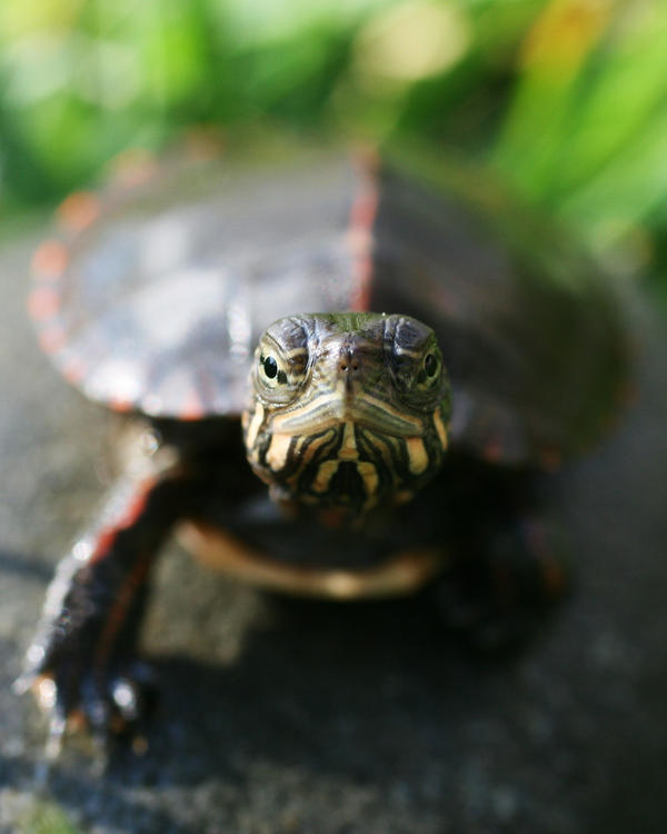 Painted Turtle 2 by Xercesa