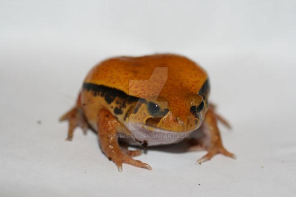 Tomato Frog 2 by Xercesa
