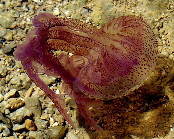 Jellyfish by Xercesa