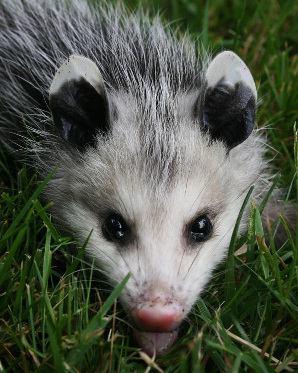 Opossum by Xercesa