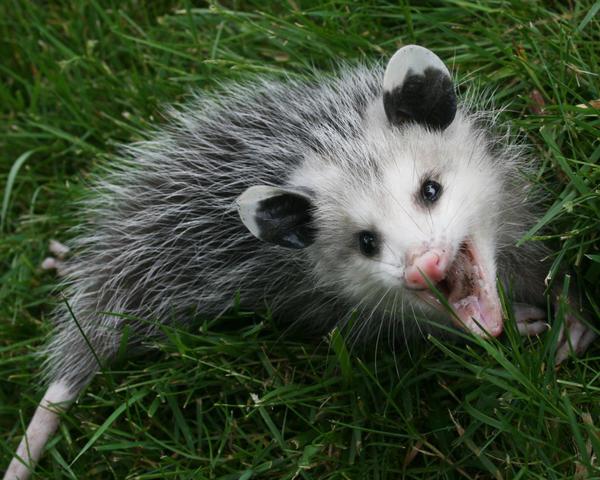 Opossum 2 by Xercesa