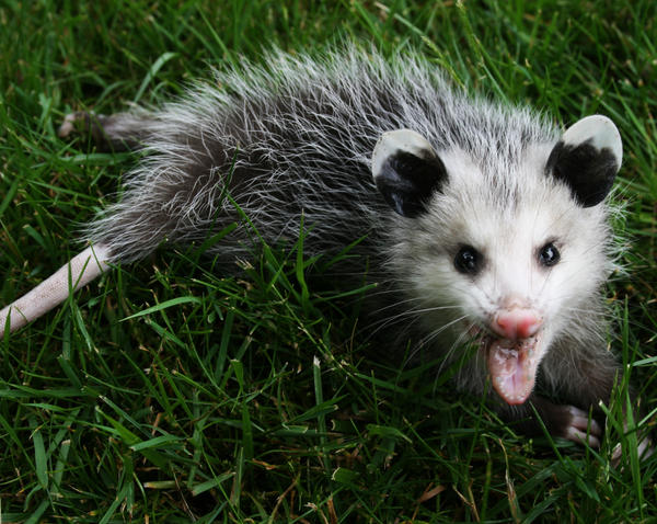 Opossum 3 by Xercesa