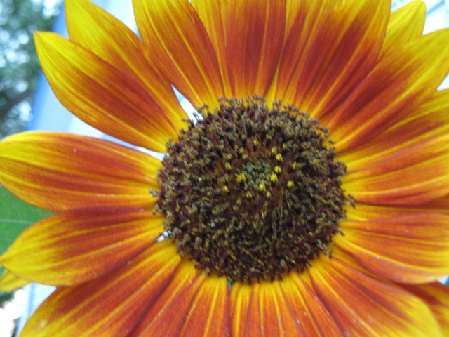 Sunflower by GaBrIeLlA123