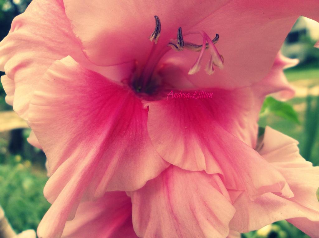Gladiolus - 2 by Dislike-Like