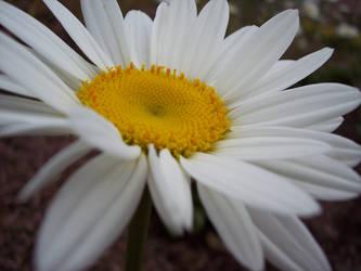 Daisy by Roonee