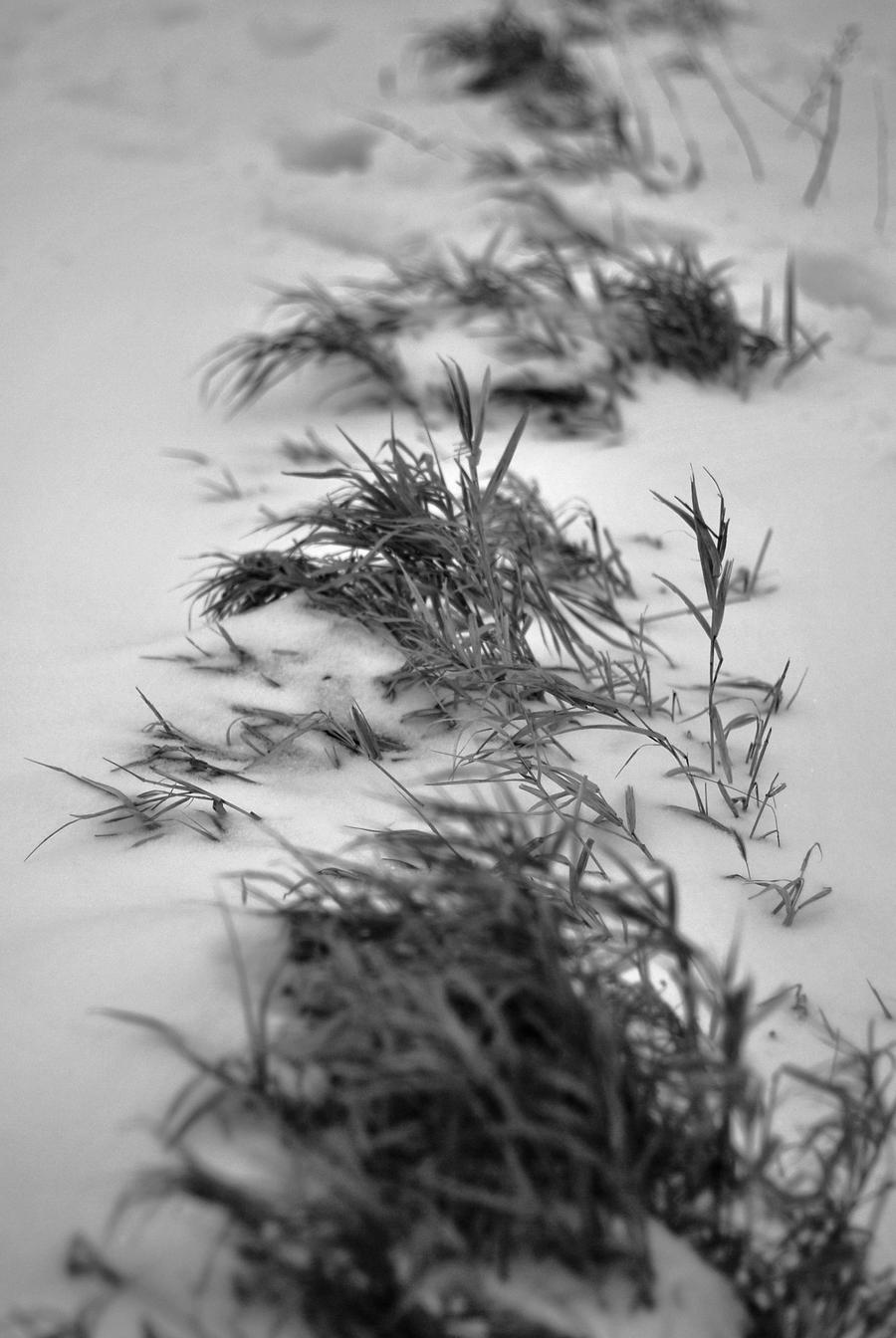 Leaves of Grass by carrex