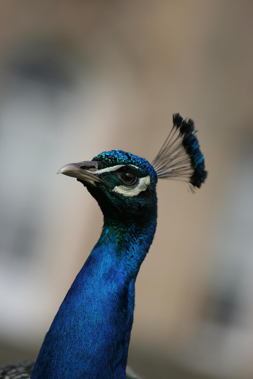 Peacock stock 3 by Random-Acts-Stock