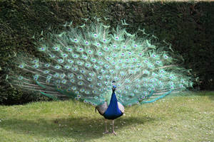 Peacock stock 9 by Random-Acts-Stock