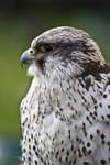 Bird of Prey 20