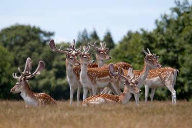 Deer stock 6