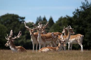 Deer stock 8