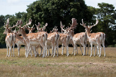 Deer stock 11