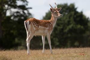 Deer stock 12 by Random-Acts-Stock