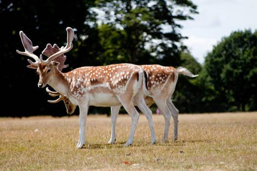 Deer stock 13