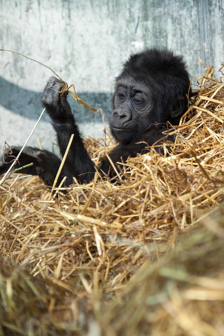 Gorilla 4 by Random-Acts-Stock