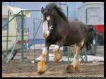 Circus Draft  Horse