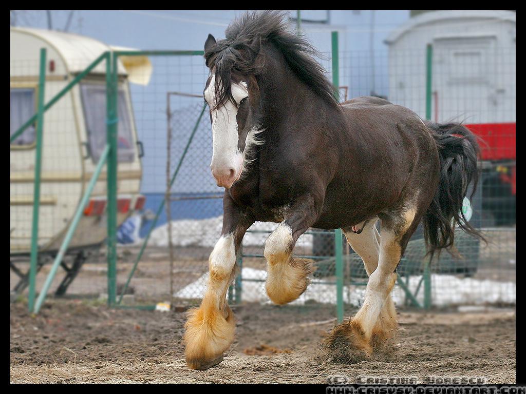 http://fc01.deviantart.net/fs27/f/2008/035/f/0/Circus__Shire__Horse_by_crisvsv.jpg