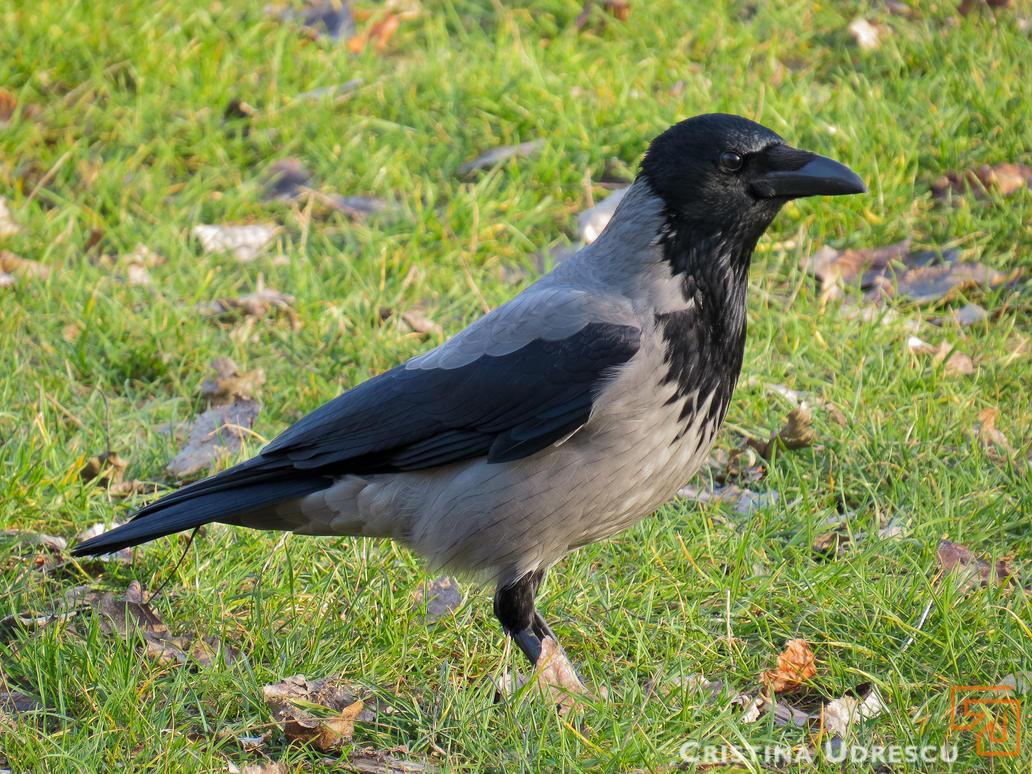 Crow by crisvsv