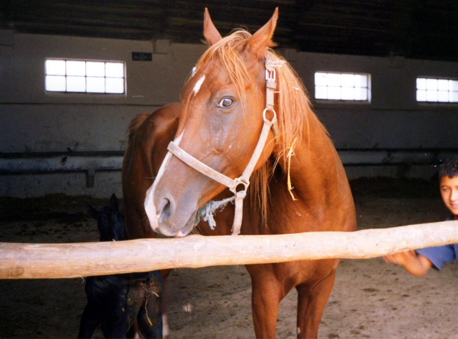 Galerie foto cu cai!! Pure_arabian_stock_horse_by_crisvsv