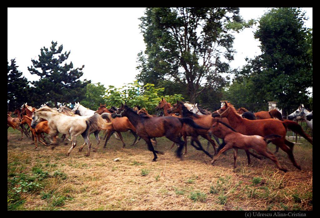 running horses by crisvsv