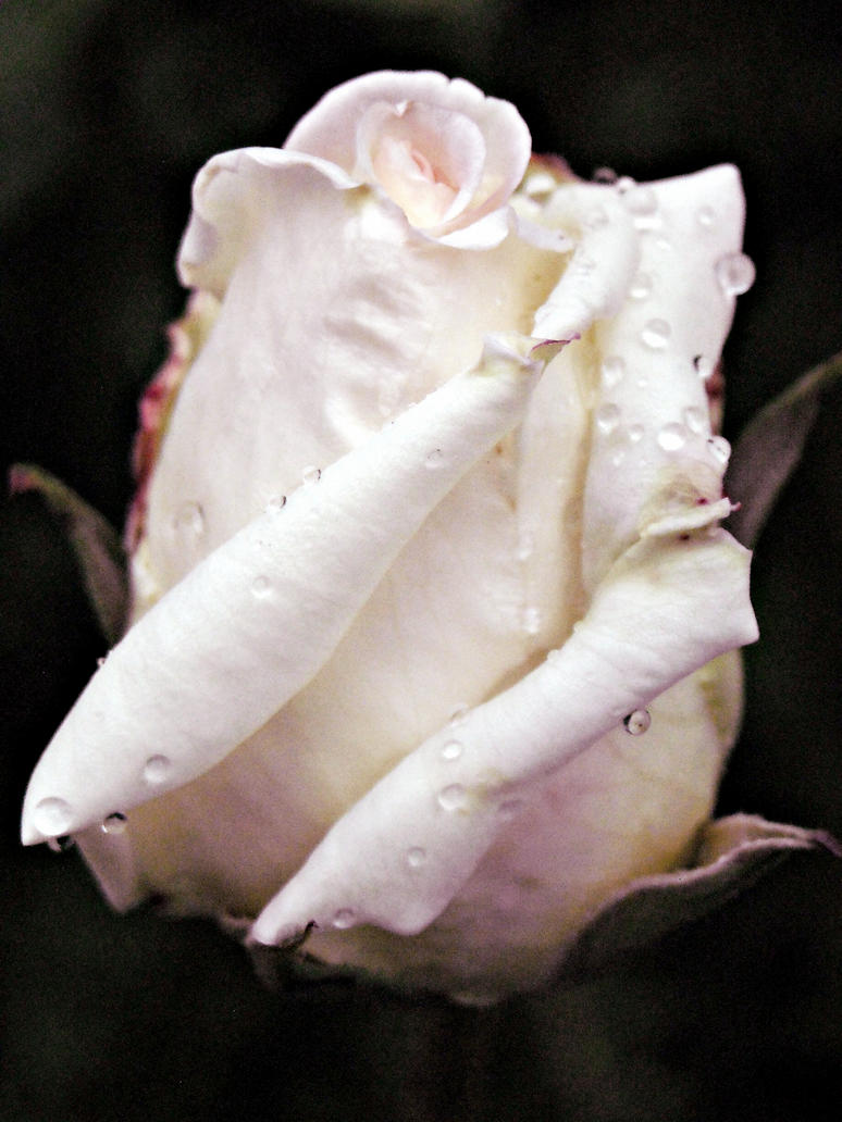 White rose II by LostInYourPresence