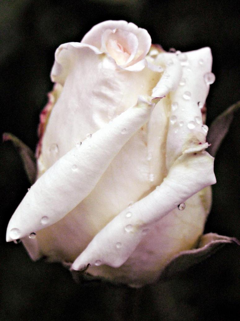White rose II by LostInYourPresence
