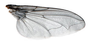 Fly Wing