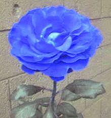 blue rose by M-lollipop