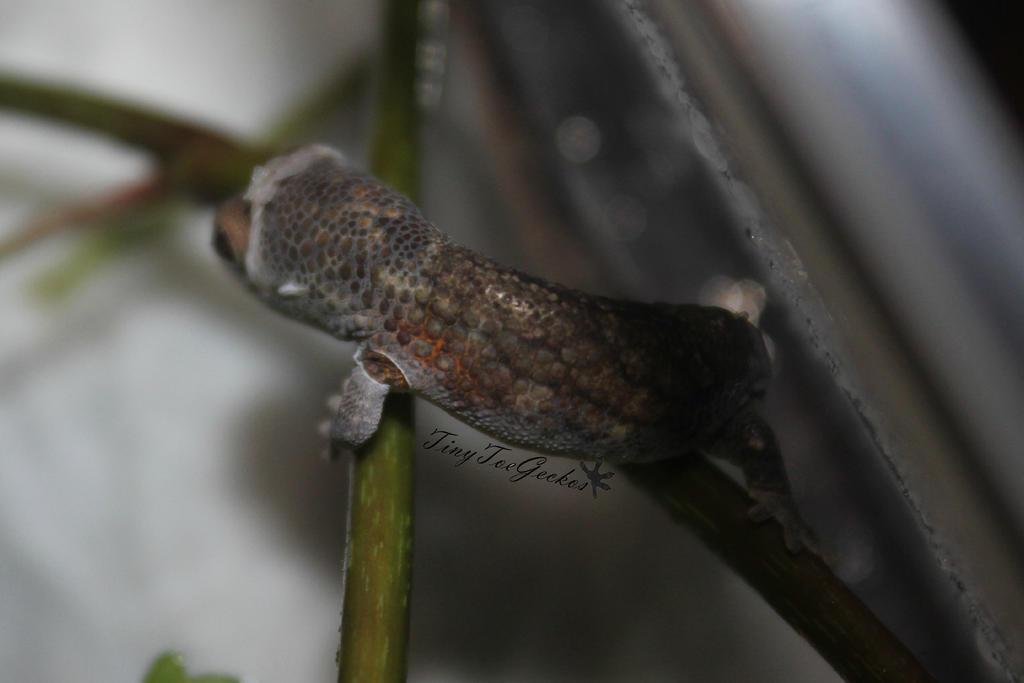 Tiiiiiiiny gecko by AngelsSunset