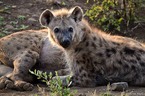 Spotted hyena 1 by AnneMarks