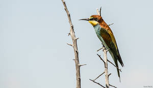 Bee Eater by AnneMarks