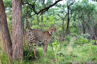 Frisky Cheetah 1 by AnneMarks