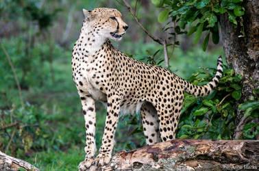 Frisky Cheetah 2 by AnneMarks