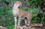 Frisky Cheetah 2
