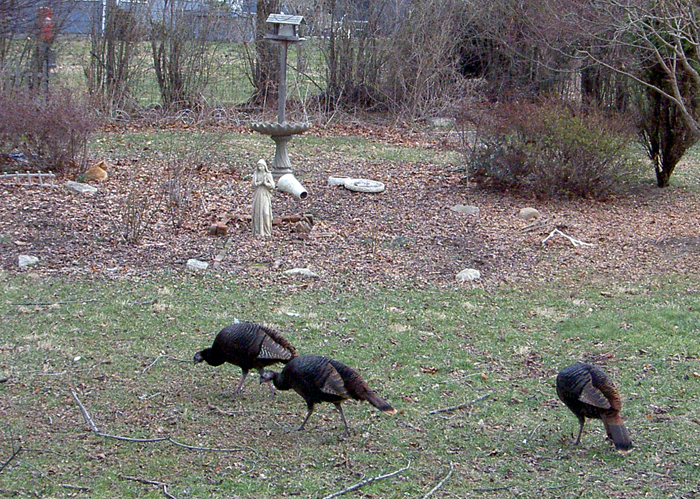 Gobblers 02 08 06 by Wilcox660