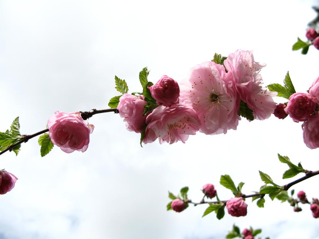 Flowering Almond 2 by lumbe stock on DeviantArt